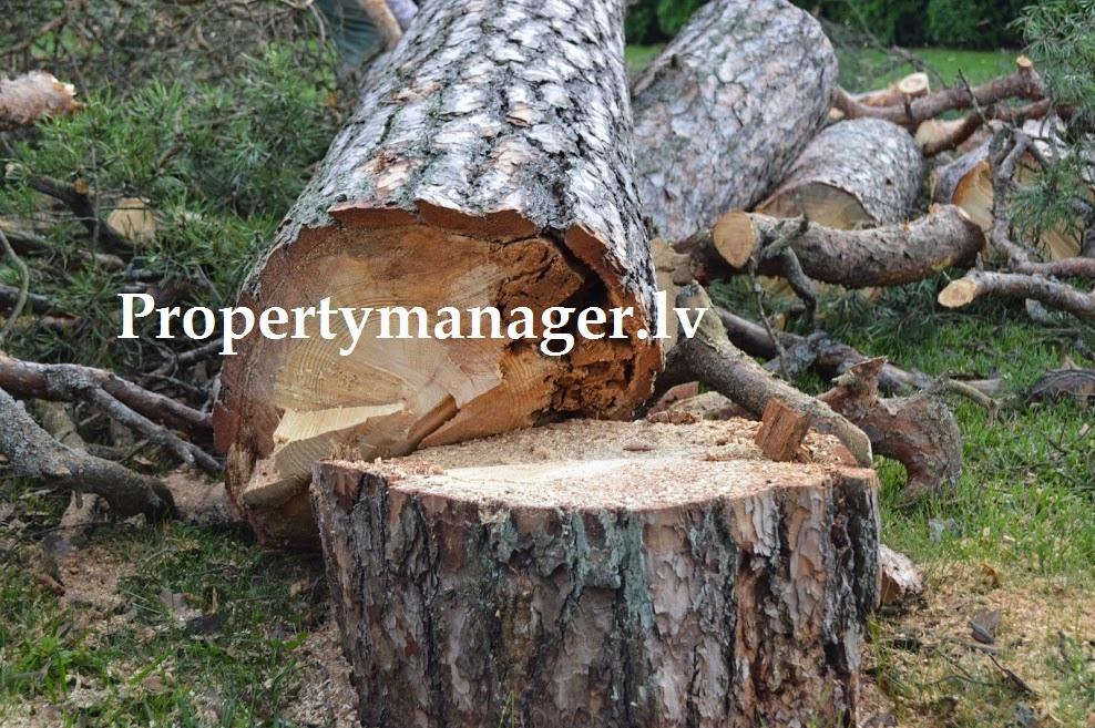 вырубка опасных деревьев и веток ы Юрмале