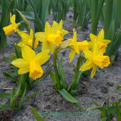 Весенние цветы - Pavasara puķes