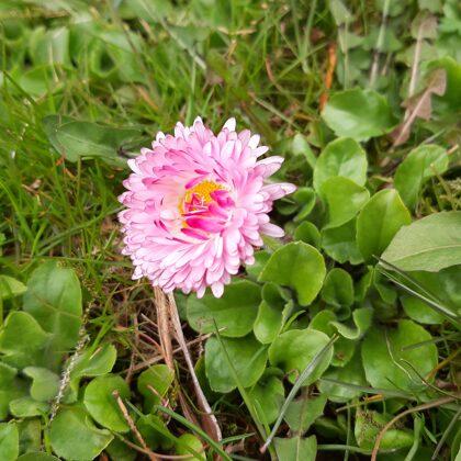 Mārpuķīte - Маргаритка обыкновенная - Common daisy