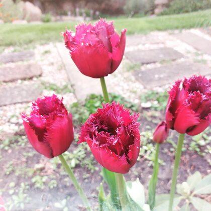 Тульпаны - Tulpes
