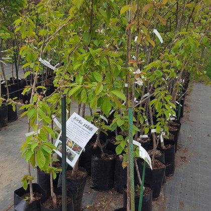 Плодовые деревья - augļu koki