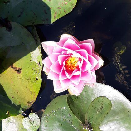 Водяные лилии - ūdensrozes