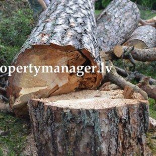 спилить дерево в Юрмале